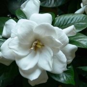 1_gardenia