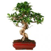 Bonsai-Ficus-Retusa-30-35-03