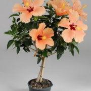 hibiscus-tree-300