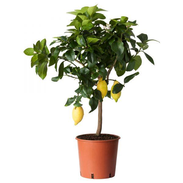 rastenie-v-gorshke-citrus-303-124-82-1