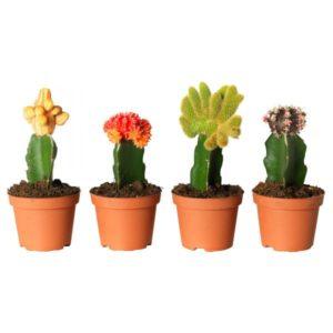 rastenie-v-gorshke-kaktus-gimnokalitsium-razlichnye-rasteniya-gymnocalycium-2585-1