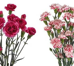 carnations-spray