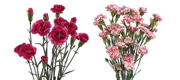 carnations-spray